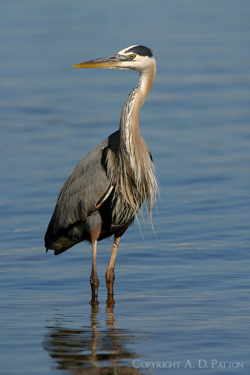 Great blue heron adult standing in water