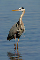 Great blue heron adult standing in water