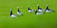 26.04.2009<br /> Barnacle Goose (Branta leucopsis) ap&aacute;cal&uacute;d<br /> Westerhever, Germany