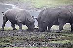 Foto: VidiPhoto<br /> <br /> ARNHEM &ndash; De eerste ontmoeting tussen het pasgeboren neushoorntje Wiesje en de twee ton zware papa Gilou op de Safarivlakte van Burgers&rsquo; Zoo in Arnhem is woensdag uitgelopen op flinke clash. Gilou heeft een slechte reputatie. Zijn vorige kinderen werden door hem tijdens de eerste ontmoeting flink mishandeld. Vandaar dat de dierverzorgers van de Arnhemse dierentuin met de nodige spanning de introductie volgden. Ook nu was er een korte, maar hevige botsing tussen de pittige en brutale Wiesje en de narrige vader. Met als gevolg dat ook moeder Izala en de andere neushoorns bij de confrontatie als beschermers van de 100 kilo zware neushoornbaby betrokken werden, zodat Gilou op zijn beurt een portie &lsquo;klappen&rsquo; kreeg van de kudde. De in juli geboren Wiesje mocht in september voor het eerst naar buiten, om zo kennis te maken met de kudde en om wat gewicht betreft wat steviger in haar schoenen te staan tijdens de ontmoeting met paps.En dat bleek woensdag geen overbodige luxe. Foto: Moeder Izala (l) beschermt haar jong tegen de agressieve Gilou.