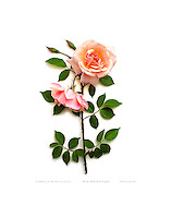 Rose - Belle of Portugal; fine art photobotanic giclée print silhouette