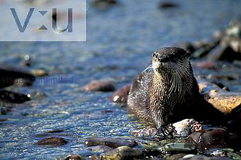 North American River Otter ,Lutra Canadensis,.