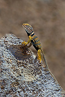 414390029 a wild male great basin or desert collared lizard crotaphytus insularis bicinctores in breeding color pattern perches on a large rock along chalk bluffs road near bishop in inyo county california