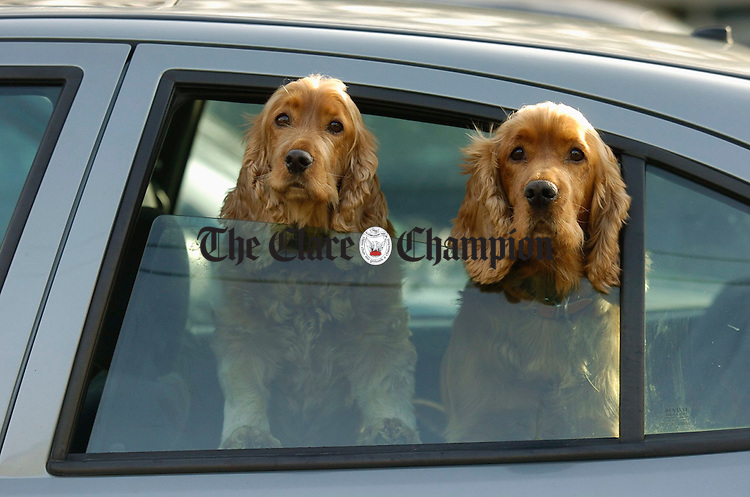 Rosie and Sean, dogs owned by Ron Thompson of Doonaha patiently await their master during a shopping trip in Kilrush. Photograph by John Kelly.
