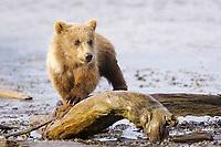 Corona, Lady Hook's spring cub. Kodiak grizzly bear (Ursus arctos middendorffi), Hallo Bay
