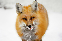 Red Fox (Vulpes vulpes).  Rocky Mountains, late winter.