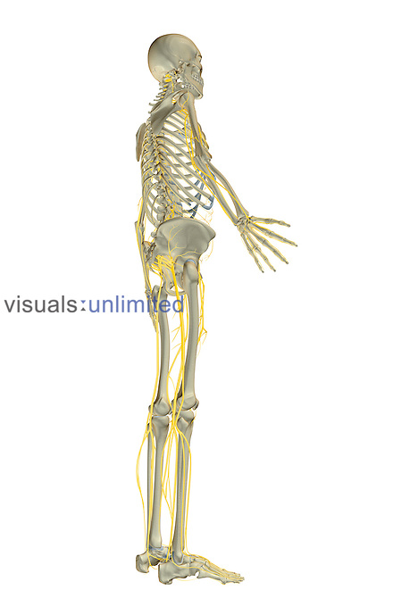 An inferior posterolateral view (right side) of the nervous system.   Royalty Free