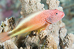 Paradise House Reef, Taveuni, Fiji; a solitary Freckled Hawkfish (Paracirrhites forsteri) sits perched on a hard coral