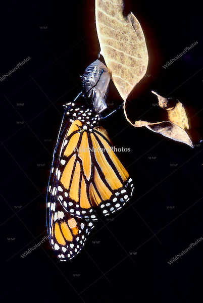 A recently elosed Monarch Butterfly; Metamorphosis of a Monarch Butterfly Caterpillar (Danaus plexippus), from larvae to chrysalis to adult, on Common Milkweed. (Series, Ohio)