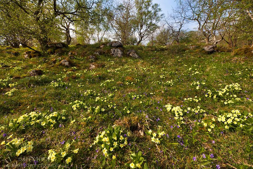 Primroses {Primula vulgaris} and Common Dog Violets {Viola riviniana} flowering in woodland clearing, Yorkshire Dales National Park, UK. April.