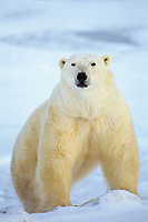 Polar bear (Ursus maritimus) male