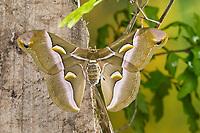 Götterbaum-Spinner, Götterbaumspinner, Ailanthus-Spinner, Ailanthusspinner, Samia cynthia, Ailanthus silkmoth, Le Bombyx de l'ailante, Croissant, Pfauenspinner, Saturniidae, saturniid moths
