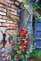 Red hollyhocks against blue door and brick wall Alcea rosea in summer bloom