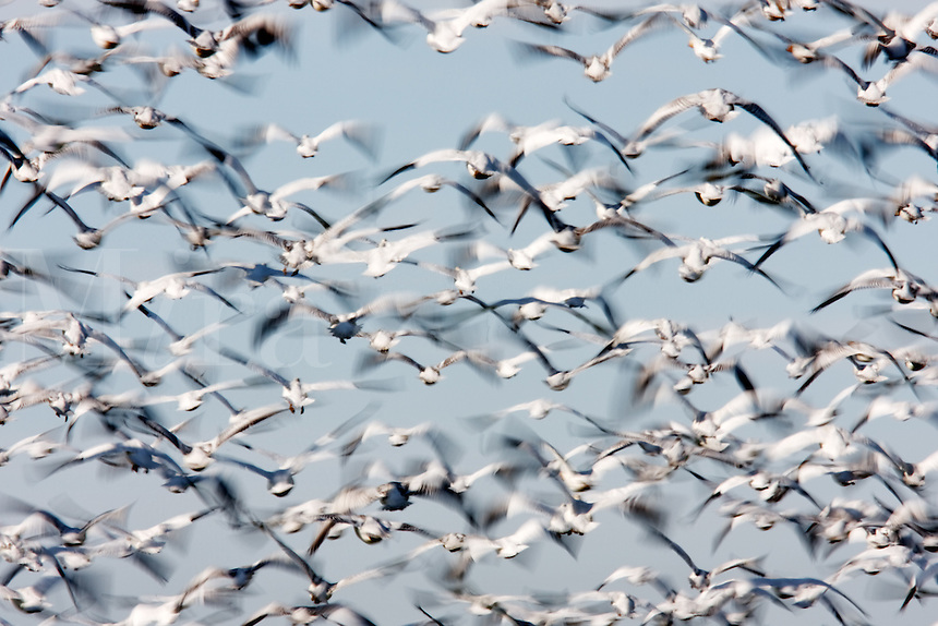 Flock of snow geese (Chen caerulescens) filling the sky, Skagit Valley, Washington, USA