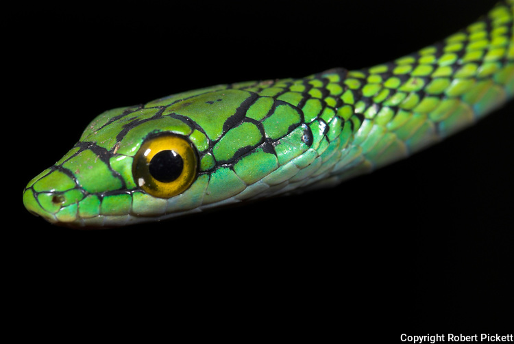 Black Skinned Parrot Snake, or Green Parrot Snake, Leptophis ahaetulla nigromarginatus, Iquitos, Peru, arboreal, day active, opens mouth wide when threatened, aggression, amazonian jungle, portrait,  .