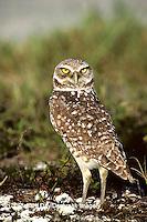 01115-00214 Burrowing Owl (Athene cunicularia)    FL