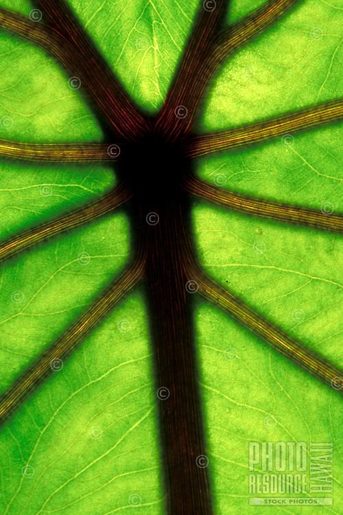 Backlit taro leaf