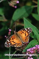 03405-002.18 American Lady (Vanessa virginiensis) on Verbena (Verbena bonariensis), Marion Co.  IL