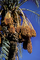 Large clumps of DATES hanging off DATE PALMS - Southern CALIFORNIA