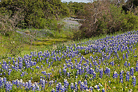 Texas bluebonnets surround a meadow in the Texas Hill Country near Pontotoc, Texas