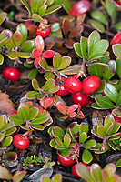 Echte Bärentraube, Immergrüne Bärentraube, Frucht, Früchte, Beeren, Arctostaphylos uva-ursi, kinnikinnick, pinemat manzanita, bearberry, mountain cranberry, fruit, Arctostaphyle raisin-d'ours, raisin-d'ours commun, Raisin d'ours, Busserole