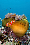 Amphiprion ocellaris, False clown anemonefish, Raja Ampat, Indonesia