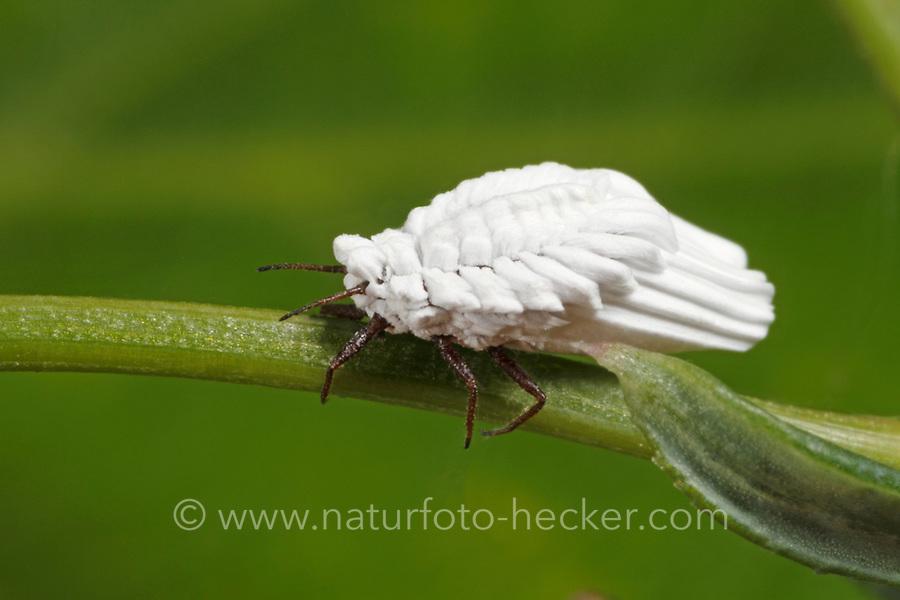 Nessel-Röhrenschildlaus, Röhren-Schildlaus, Schildlaus, Orthezia urticae, Coccina, Schildläuse, Coccoidea
