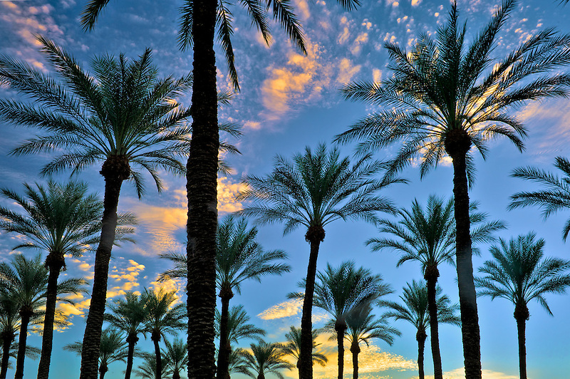 Palm trees at sunrise. Palm Desert, California