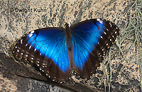 LE45-535z  Blue Morpho Butterfly, Morpho helenor, South and Central America