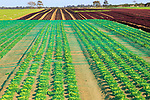 Lettuce crop growing in field, Buckanay Farm, Alderton, Suffolk, England, UK