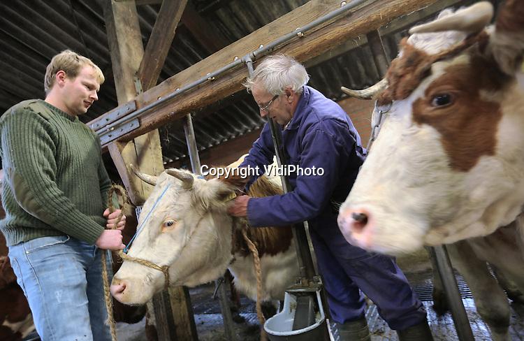 Foto: VidiPhoto<br /> <br /> OCHTEN - Melkveehouder Cees Buis (65) uit Ochten brengt dinsdag zijn melkkoeien op stal, nadat ze ruim een half jaar hebben buiten gestaan. Die dieren blijven zo lang mogelijk buiten. Zijn 32-jarige zoon Berry helpt hem daarbij. Toch is junior niet van plan om het bedrijf van zijn vader over te nemen, waardoor Cees geen opvolger heeft en zijn bedrijf zal moeten verkopen zodra hij stopt. Buijs bezit 70 stuks rundvee, waaronder 25 melkkoeien.