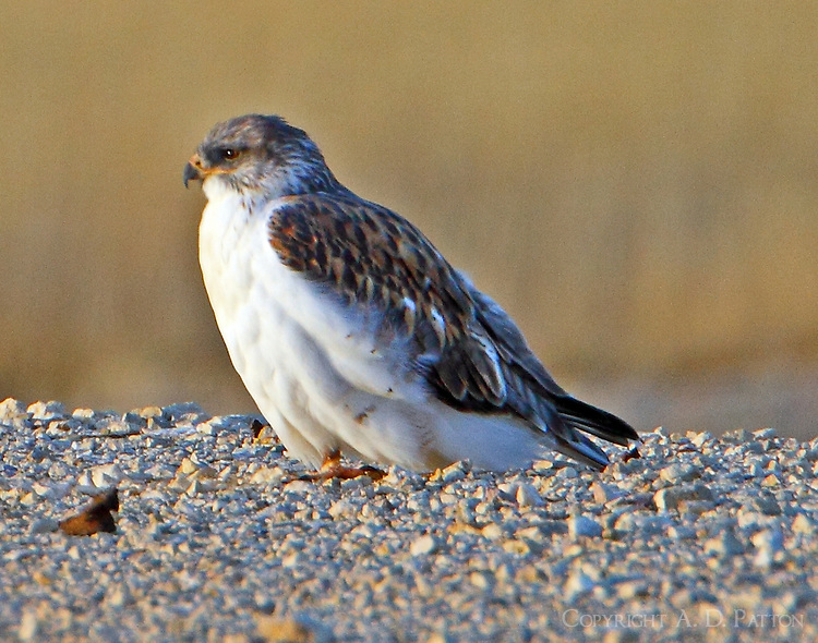 Juvenile light-morph ferruginous hawk. This bird was found on November 27, 2012 perched on a gravel road off SH 385 in Brewster County, TX not far from a prairie dog town. Likely the bird feeds on prairie dogs.