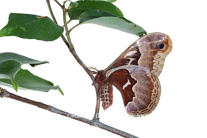 30040-00302 Promethea Moth (Callosamia promethea) female on Gray Dogwood (Cornus racemosa) on white background, Marion