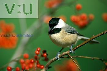 Carolina Chickadee ,Parus carolinensis,