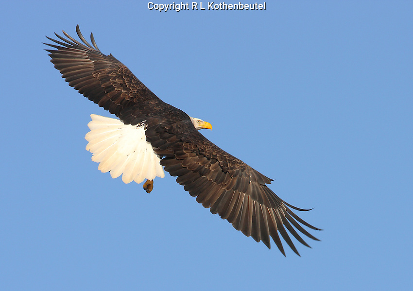 Adult bald eagle in banking flight with spread wings and tail.<br />