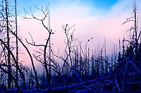 Dawn view through forest fire damaged pine forest inOlympic Mountain National Park, on the Olympic Penninsula, Washington State, near Hurricane Ridge. Olympic Peninsula