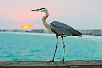 A Great Blue Heron takes in the sunset from the Okaloosa Island Pier in Fort Walton Beach. ..COLIN HACKLEY PHOTO
