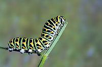 Schwalbenschwanz, Schwalben-Schwanz, Raupe, Papilio machaon, Old World Swallowtail, common yellow swallowtail, swallowtail, swallow-tail, caterpillar, Le Machaon, Grand porte-queue