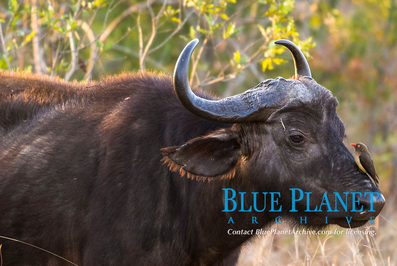 African Buffalo or Cape Buffalo (Syncerus caffer) with a Red-billed Oxpecker (Buphagus erythrorhynchus), on its head, Kruger National Park, South Africa, Africa