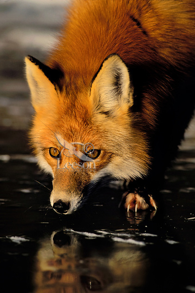 Mf80  Red Fox reflecting in ice of frozen pond.  Winter.