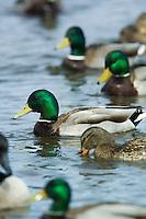 Mallard ducks(Anas platyrhynchos)
