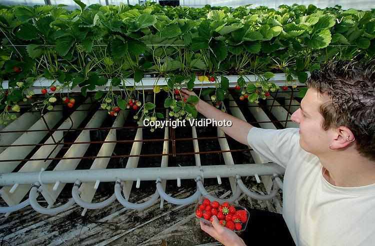 Foto: VidiPhoto..EST - Personeel van aardbeienteler Joan Bus uit Est oogst de aardbeien van een gloednieuw en voor Nederland uniek systeem. De eerste resultaten van het proefproject zijn veelbelovend. Via lamellen worden in de kas luchtlagen van verschillende temperaturen aangebracht, waardoor de groei van de aarbeien beïnvloed wordt. Zo rijpen ze niet te snel. Met het nieuwe systeem kunnen er het hele jaar door verse Nederlandse en biologisch geteelde aarbeien op de markt gebracht worden. Bovendien wordt de zomerwarmte opgeslagen en in de winter weer gebruikt.