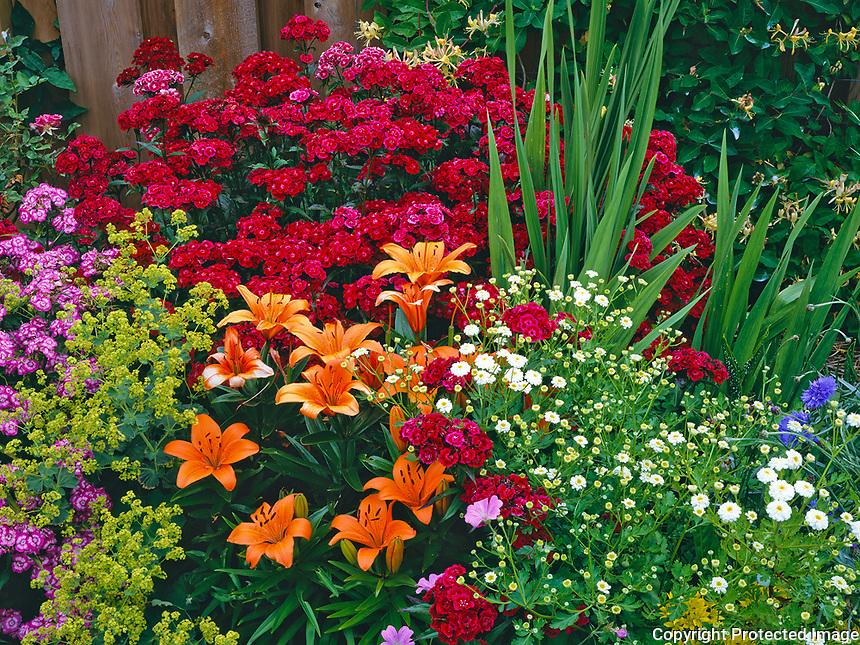 Vashon Island, WA:  Garden detail of orange lilies, sweet william, ladies mantle, feverfew and allium