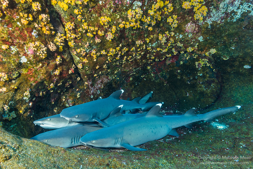 Roca Partida Island, Revillagigedos Islands, Mexico; several whitetip reef sharks resting on a rock ledge during the day, saving energy to pack hunt at night