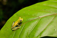 Rainforest tree frog, Tortuguero, Costa Rica, Central America