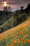 Golden poppies, oak tree, and wildflowers bloom in spring on green grass hillside near Jackson, Amador, California
