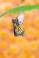 MONARCH BUTTERFLY life cycle..Emergence on Joe-Pye leaf. .North America. (Danaus plexippus).