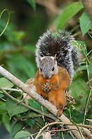 Variegated Squirrel, Sciurus variegatoides, adult eating leaf, Central Valley, Costa Rica, Central America
