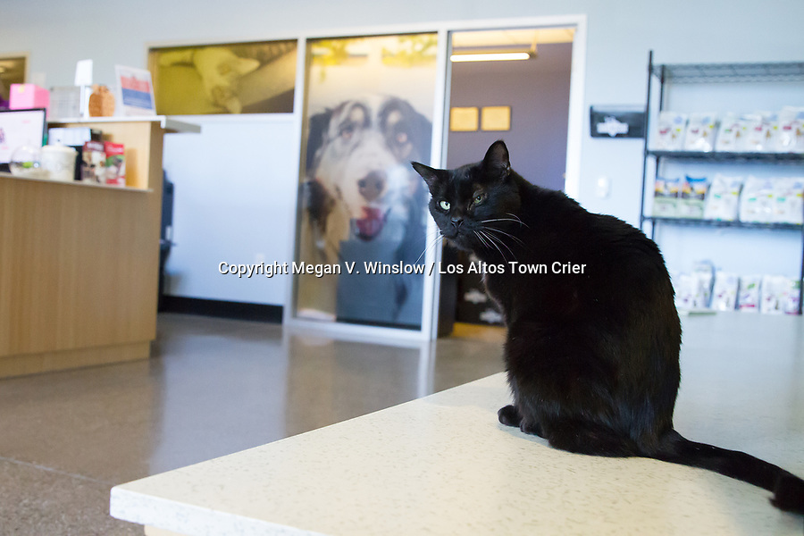 """Piper is a Pets In Need """"shelter cat,"""" meaning he rules the roost."""