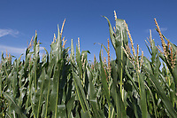 Maize <br /> Picture Tim Scrivener 07850 303986<br /> &hellip;.covering agriculture in the UK&hellip;.